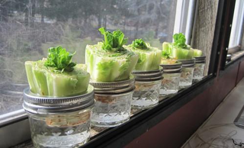 salade repousse